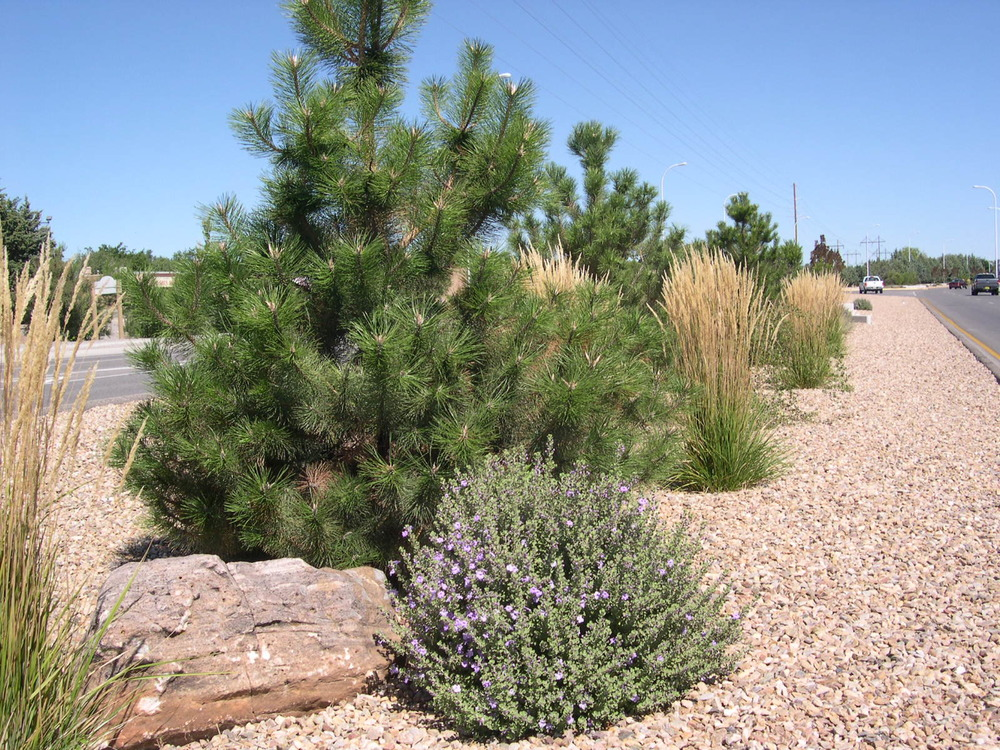 Evergreen trees work as screening on this median