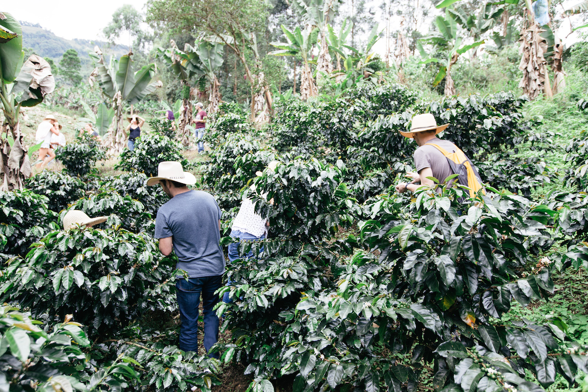 Learning about the coffee business and hunting down the red fruit (or