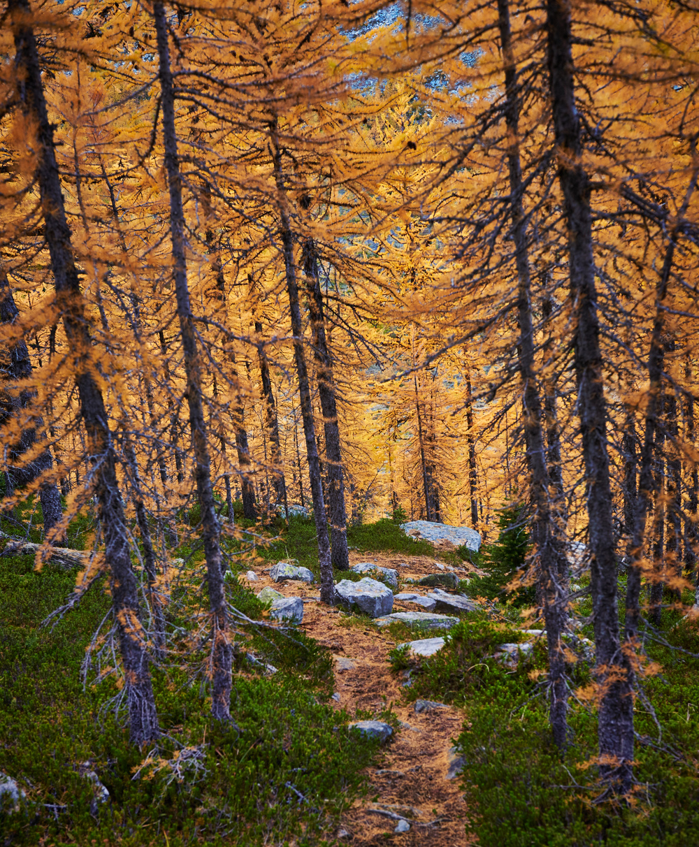 Larch season is magical in the Canadian Rockies and I made a point of getting out to shoot during this time. As long as I can remember, I have always wanted this particular shot.. I didn't know where specifically it would be, just that I wanted to capture the larches in full blaze winding through a forest. Of all the photographs I have taken, this one is in my top 5 ever!