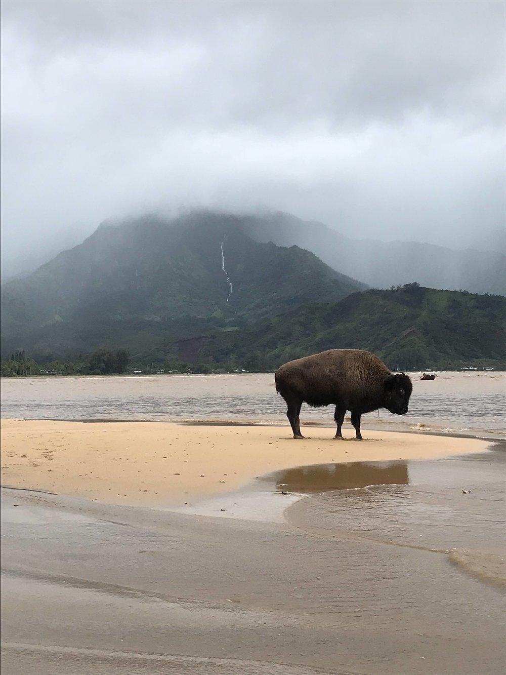 buffalo1-e1523847603639.jpeg