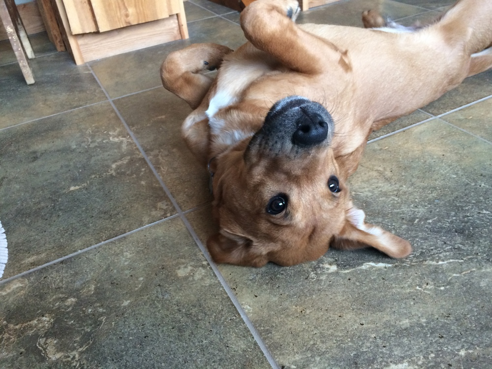 "Our dog ""Scuba"" on our heated flooring"