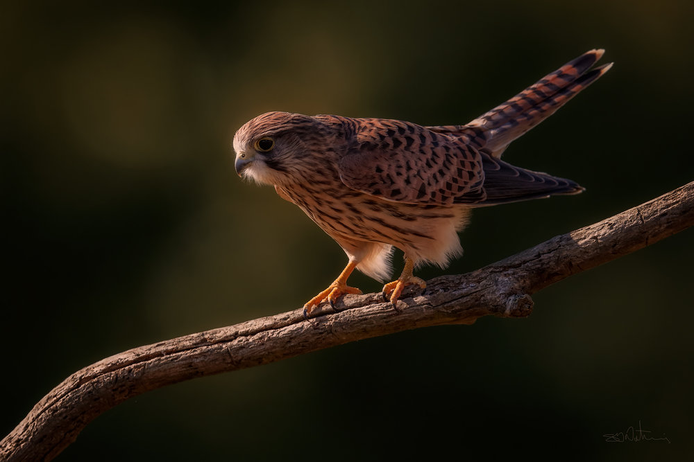 Juvenile Kestrel in the early morning light - ( Canon 1DX Mark II, Canon 600mm Mark II, ISO 640, F7.1, 1/1250 sec )