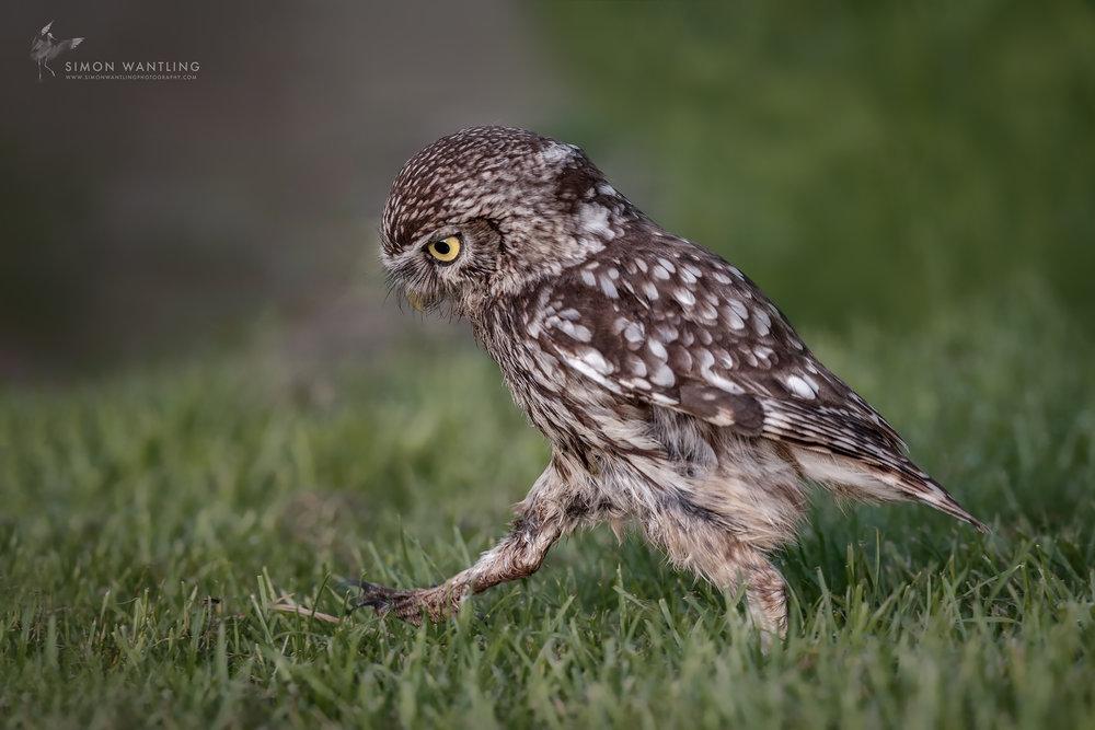 Little Owl 1 - 8th June 17 Website.jpg