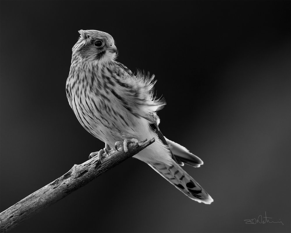 Kestrel - ( Canon 1DX Mark II, Canon 600mm Mark II, ISO 640, F7.1, 1/1250 sec )