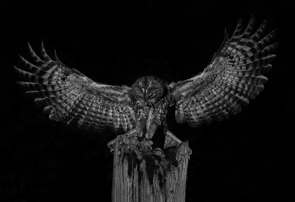 Tawny owls -