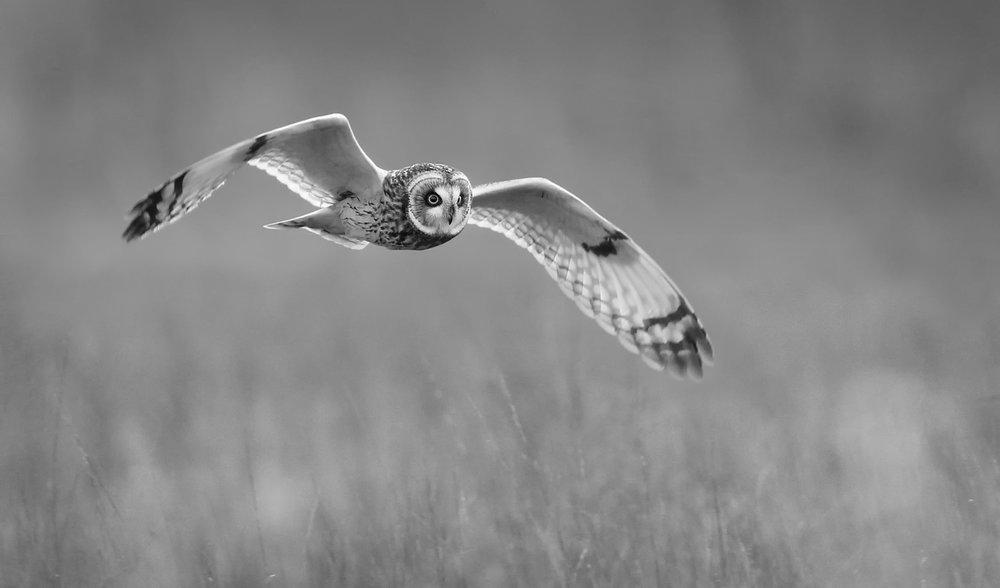 Short-eared owls -