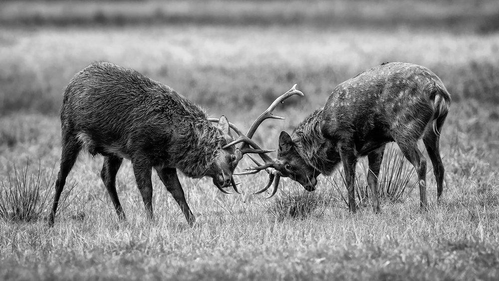 Deer Rut -