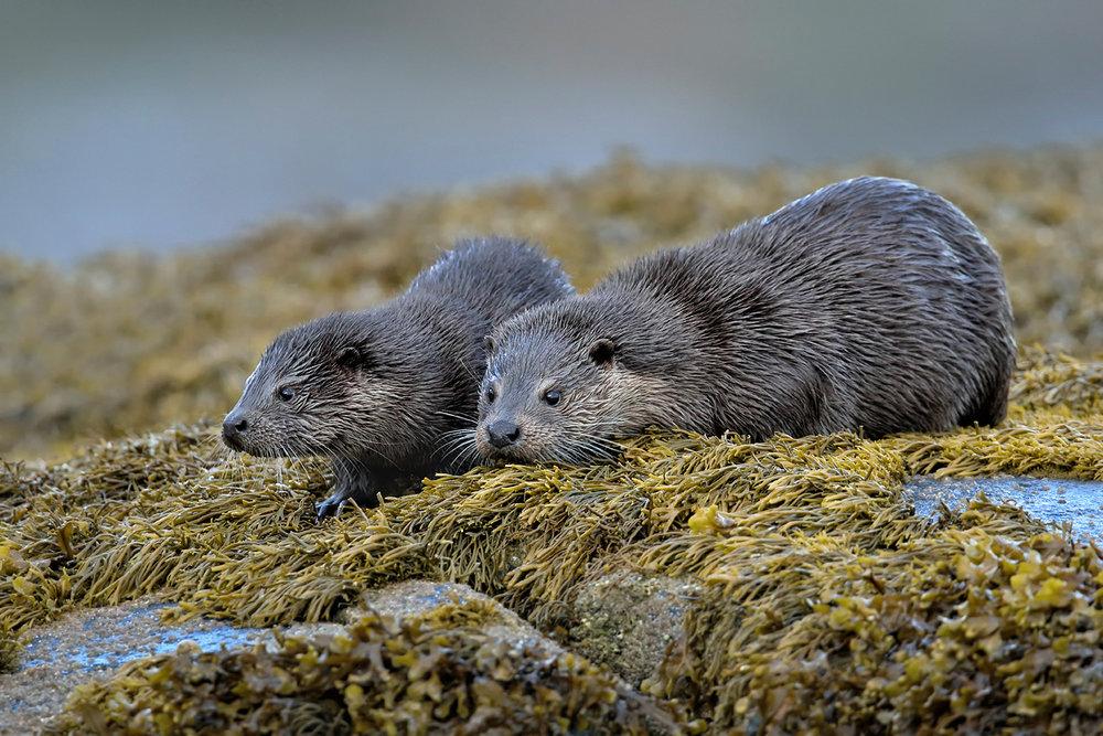 Mull Otter Pair Print File FB.jpg