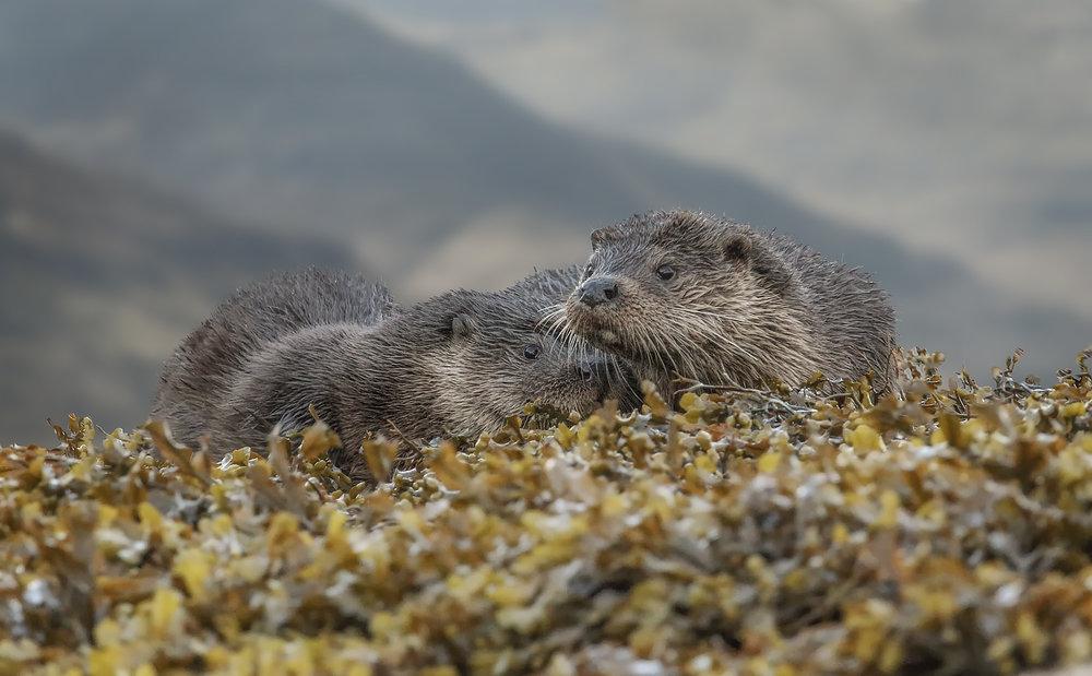 Otters, Isle of Mull Otter, Simon Wantling Photography