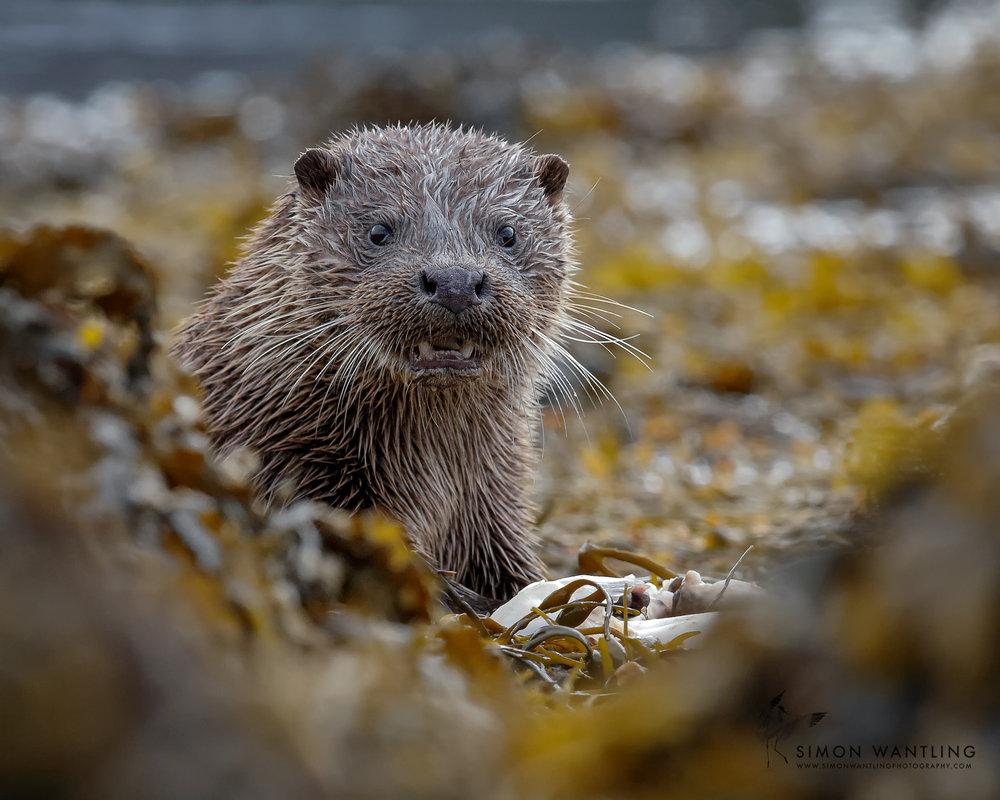 Isle of Mull - Otter.jpg