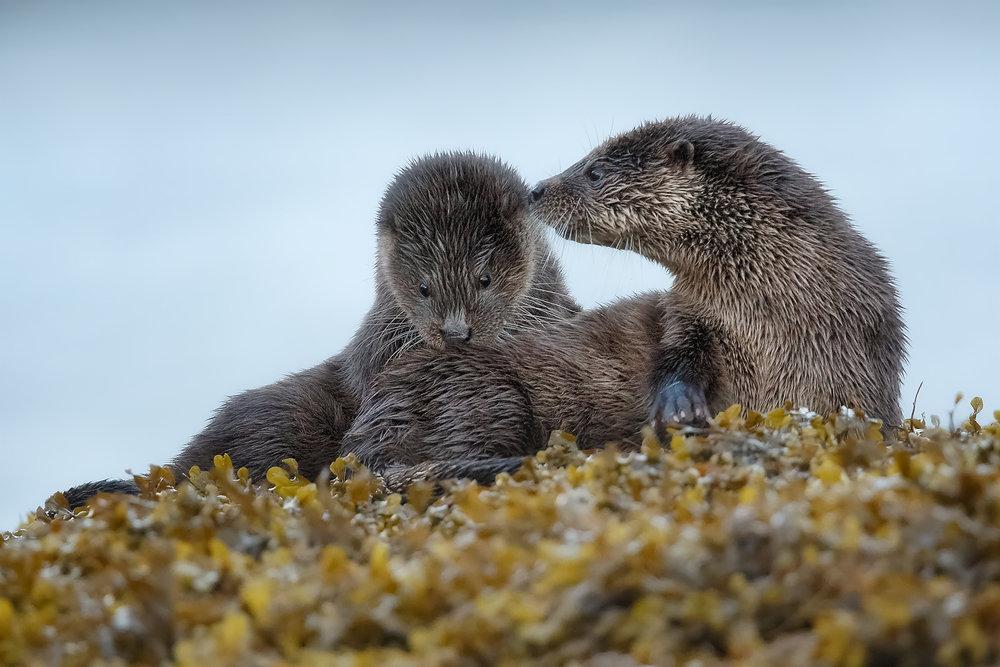 Otter, Otters, Mull, Otters on Mull