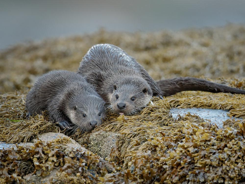Otter, Isle of Mull Otters