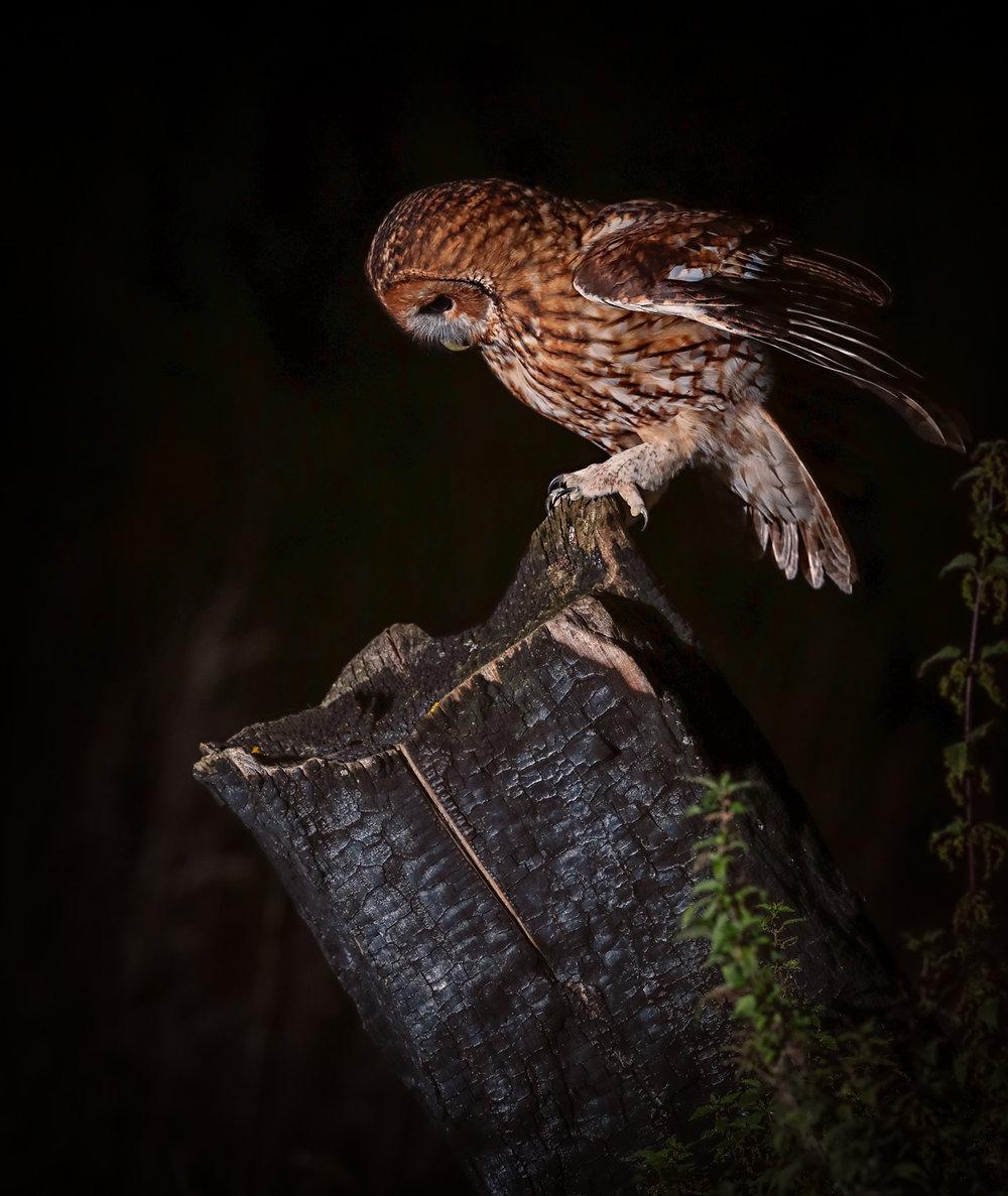 Tawny Owl Processed.jpg