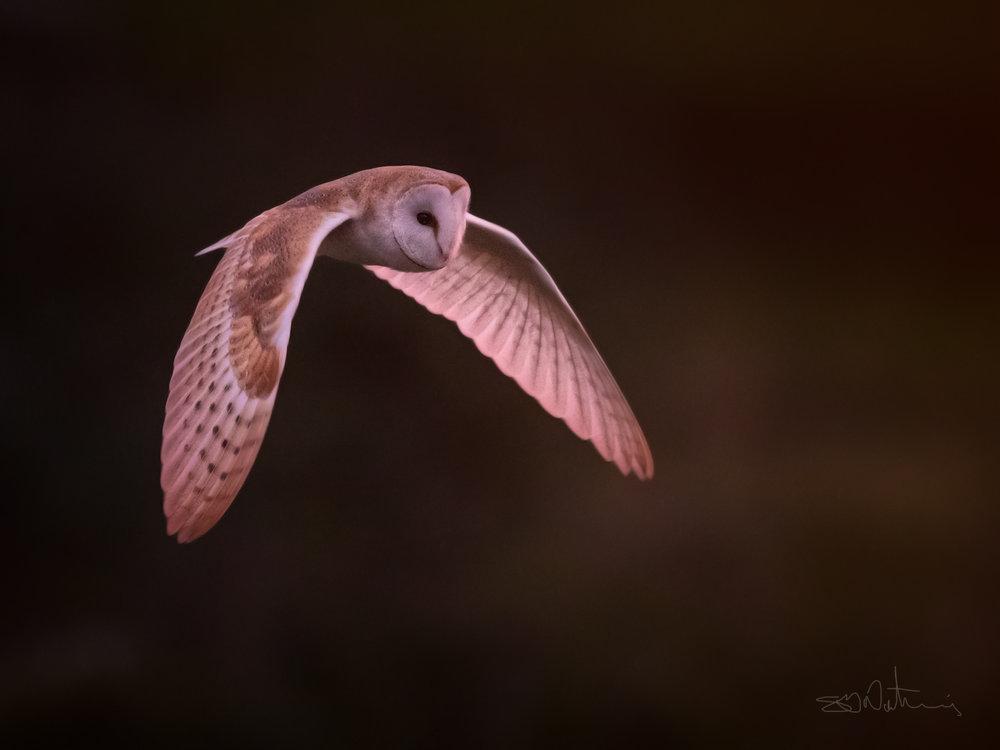 Barn Owl - ( 1DX Mark II, Canon 600mm Mark II, F4, ISO12500, 1/800 ss )