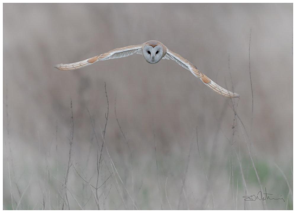 Simon Wantling Photography - Barn Owl.jpg