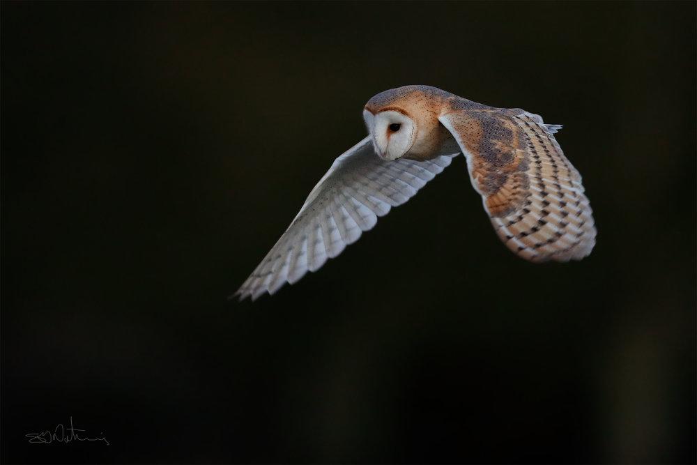 Simon Wantling Barn Owl - 9th Dec 17.jpg