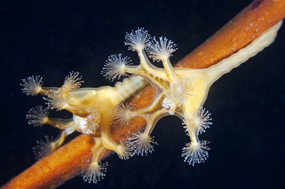 alexander-semenov-lucernaria-quadricornis-03.jpg