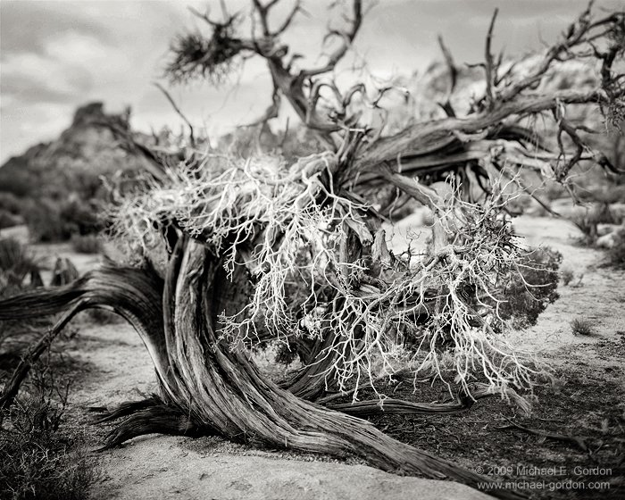 Juniper Study, Joshua Tree National Park, California © Michael E. Gordon