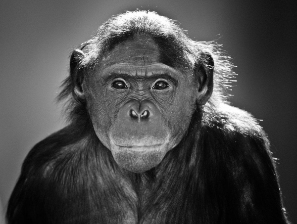 Bonobo Portrait, Jacksonville Zoo, Florida (© Graham McGeorge / 2011 National Geographic Photo Contest)