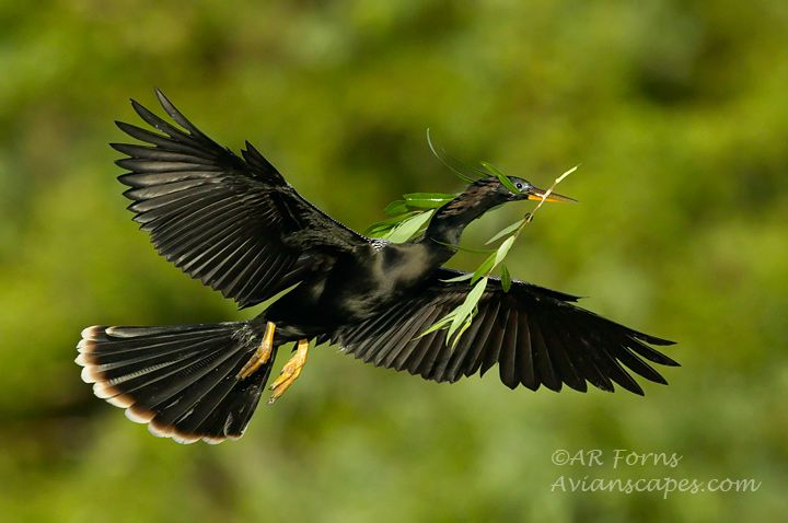 alfred-forns_anhinga-branch-full.jpg