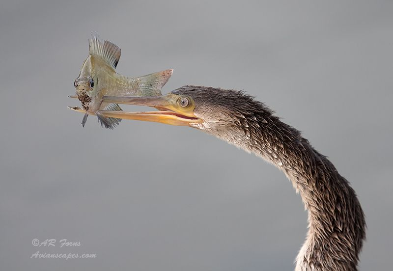 alfred-forns_anhinga-fish-catch.jpg