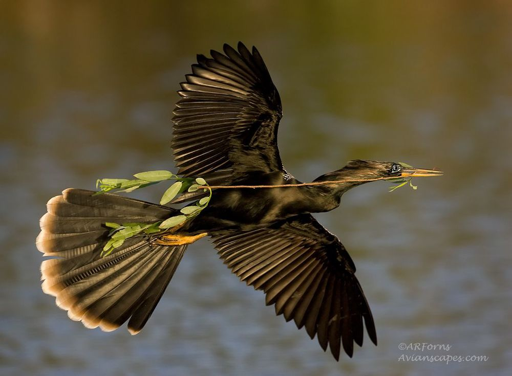 alfred-forns_anhinga-branch-light.jpg