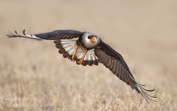 alfred-forns_caracara-up.jpg