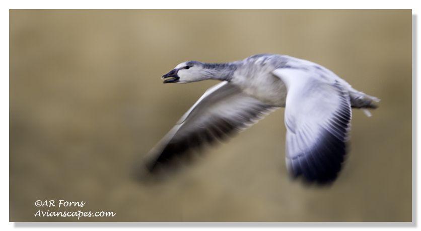 alfred-forns_goose-blur.jpg