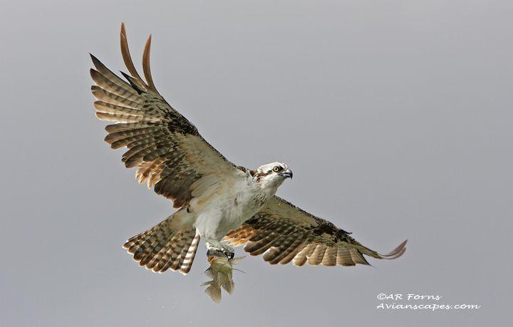 alfred-forns_osprey.jpg