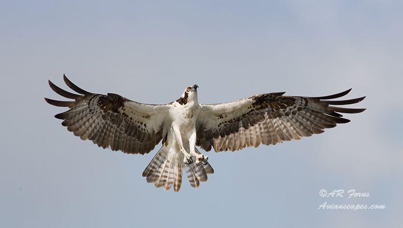 alfred-forns_osprey-landing.jpg