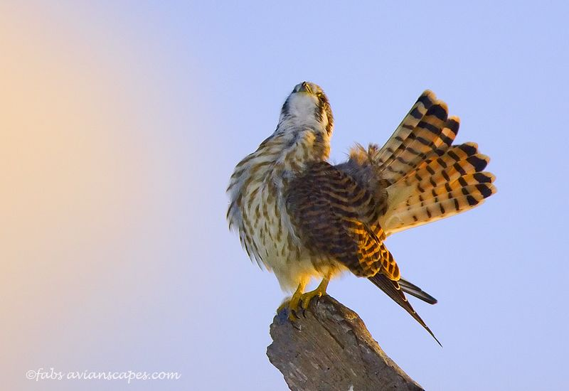 fabiola-forns_kestrel-oh-so-pretty.jpg