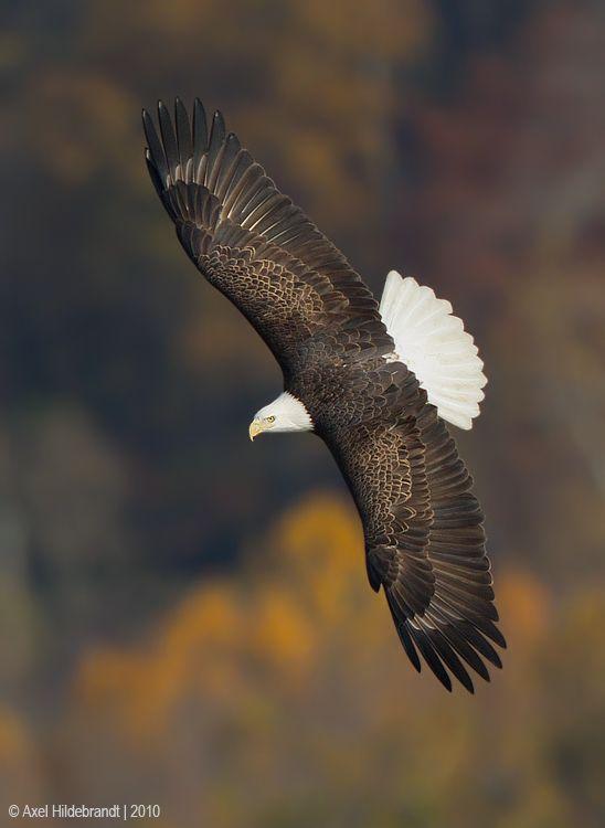 axel-hildebrandt_bald-eagle.jpg