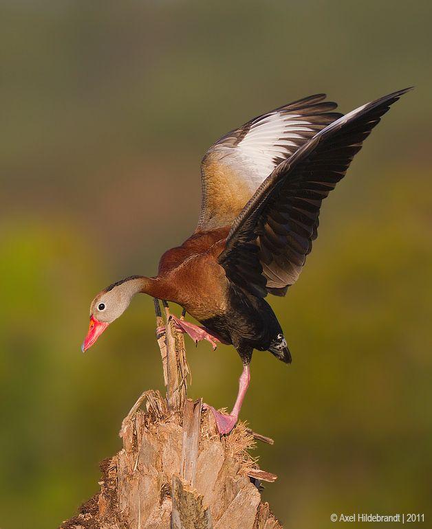 axel-hildebrandt_blackbellied-whistling-duck.jpg