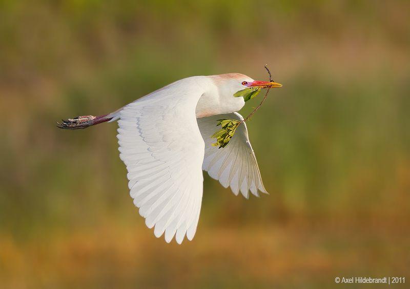 axel-hildebrandt_cattle-egret-1.jpg