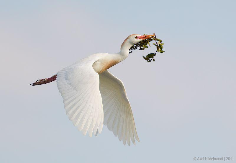 axel-hildebrandt_cattle-egret.jpg