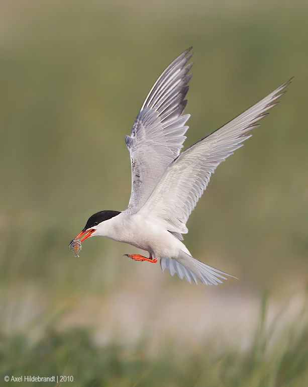 axel-hildebrandt_common-tern-1.jpg