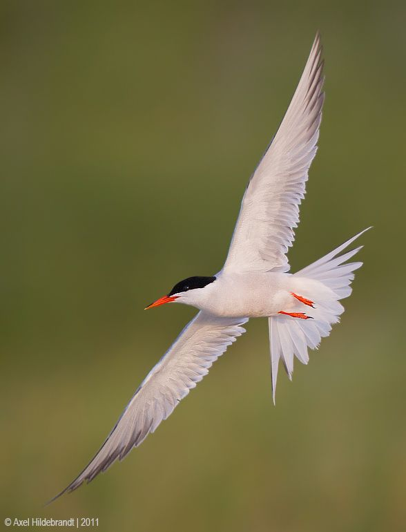 axel-hildebrandt_common-tern.jpg