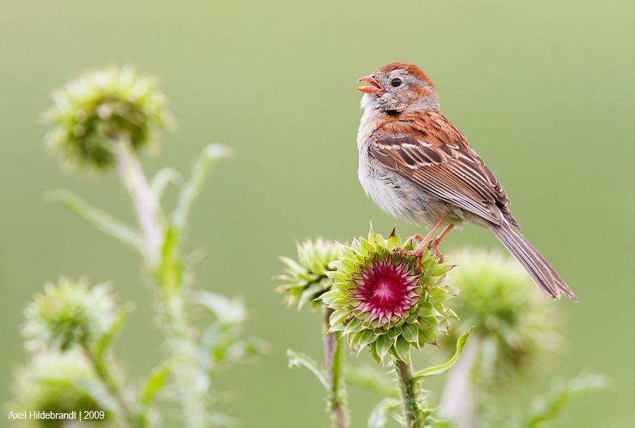 axel-hildebrandt_field-sparrow.jpg