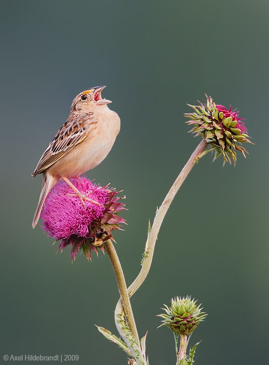 axel-hildebrandt_grasshopper-sparrow.jpg