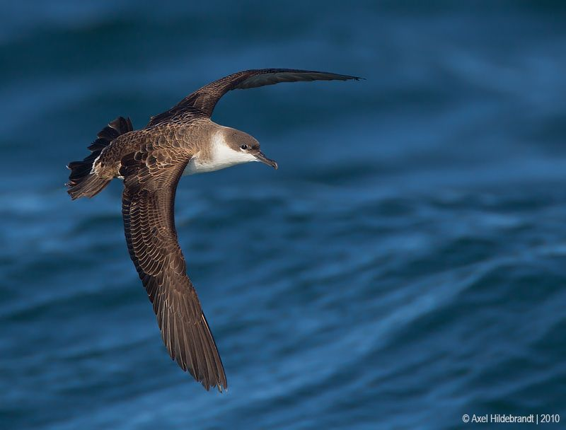 axel-hildebrandt_greater-shearwater.jpg