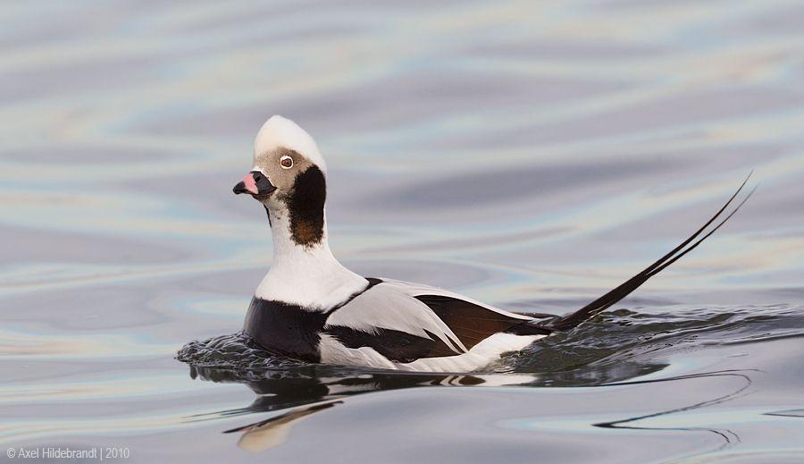 axel-hildebrandt_longtailed-duck-1.jpg