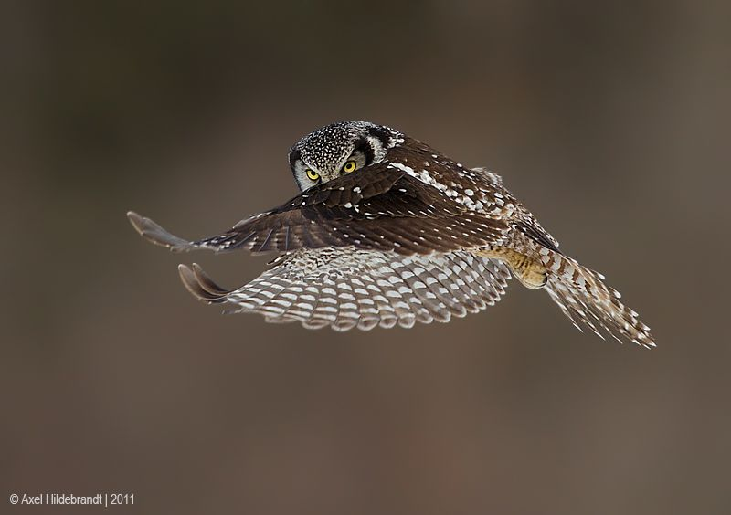 axel-hildebrandt_northern-hawk-owl.jpg