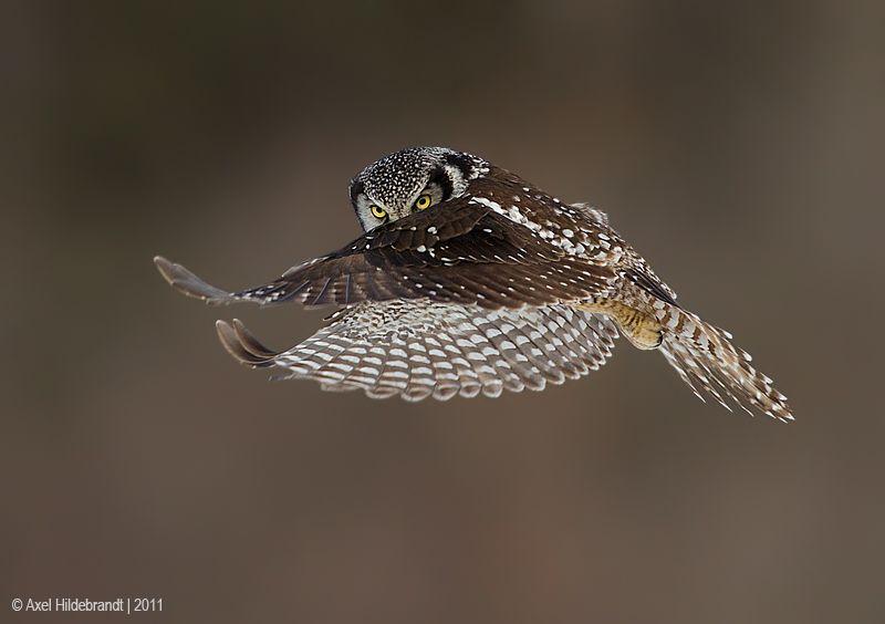 axel-hildebrandt_northern-hawk-owl.jpg