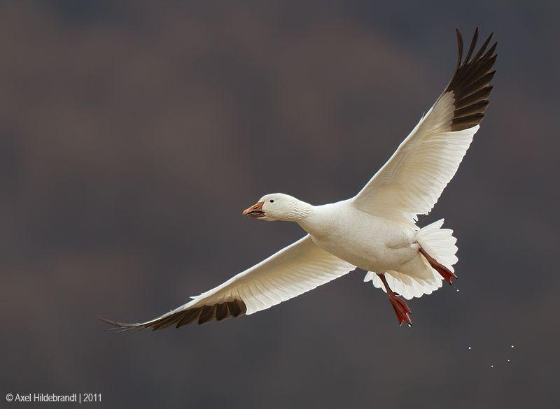 axel-hildebrandt_oicektms-snow-goose.jpg