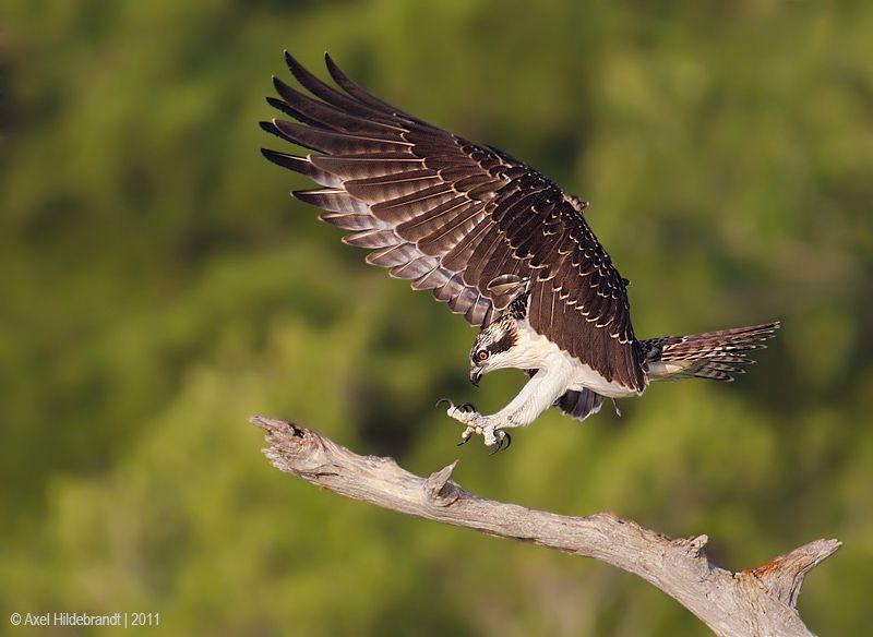 axel-hildebrandt_osprey.jpg