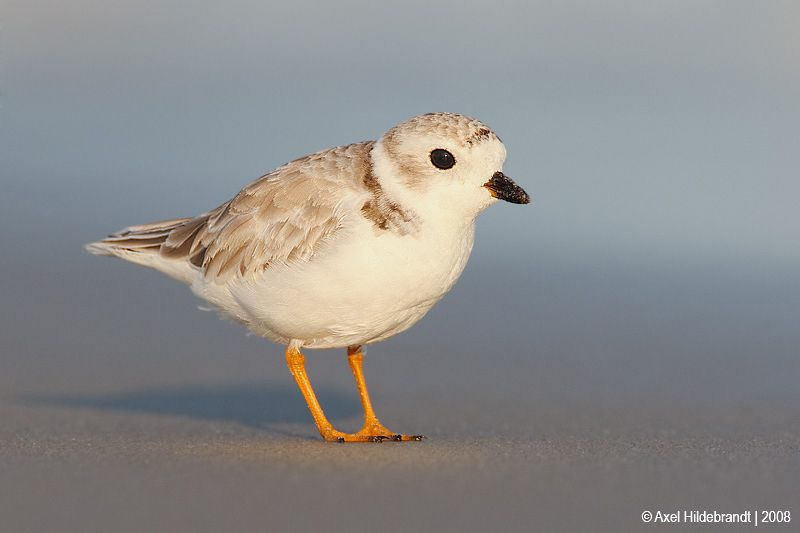 axel-hildebrandt_piping-plover.jpg
