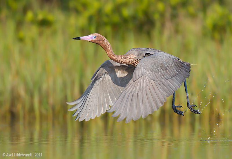 axel-hildebrandt_reddish-egret-1.jpg