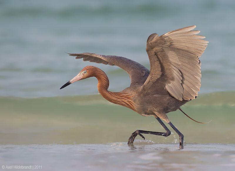 axel-hildebrandt_reddish-egret.jpg