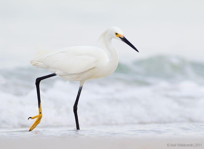 axel-hildebrandt_snowy-egret.jpg
