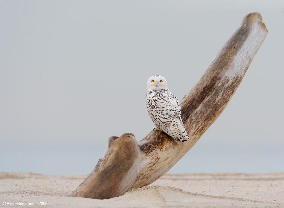 axel-hildebrandt_snowy-owl-1.jpg